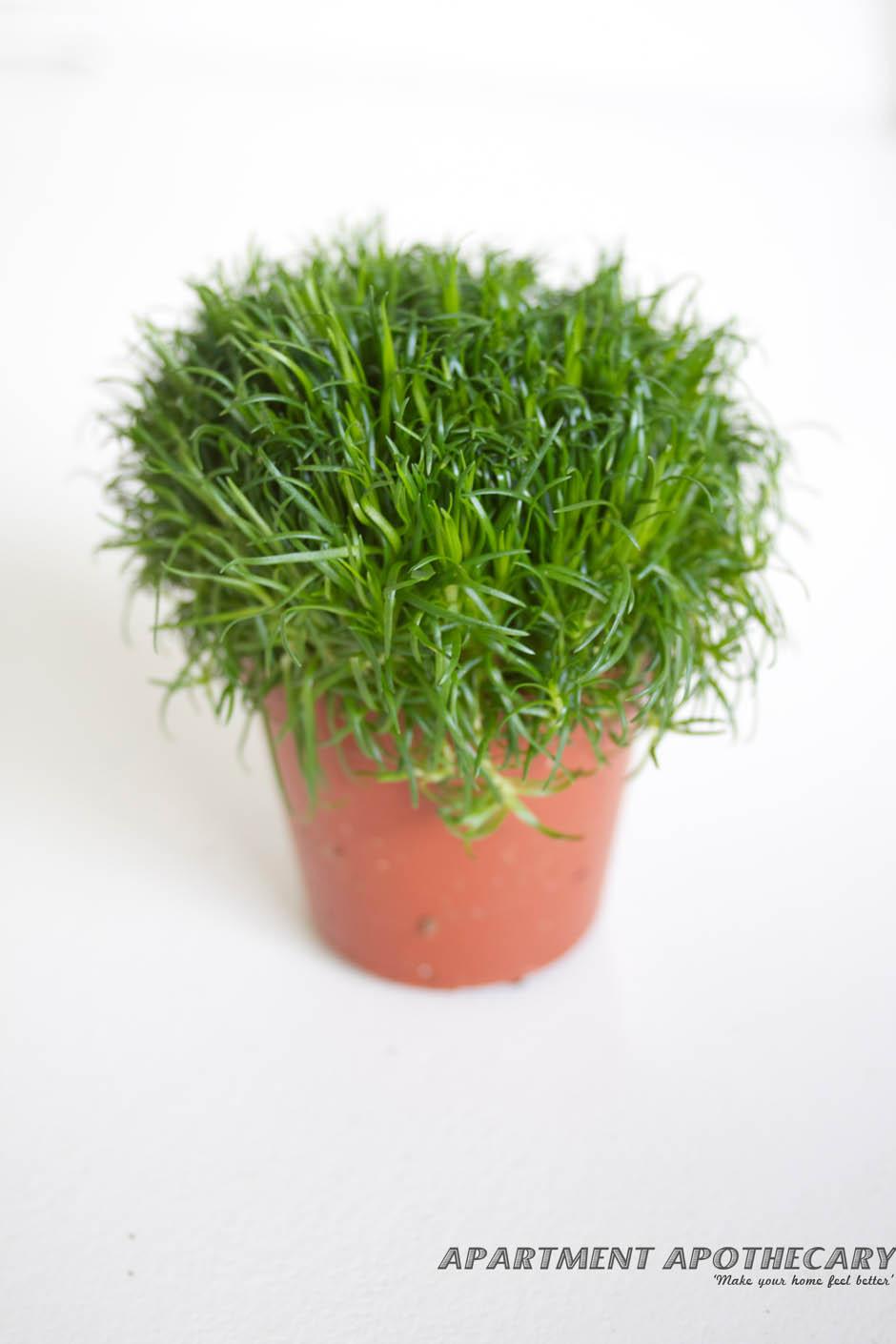 Tropical plant for terrarium Sagina sabulata (Irish Moss)
