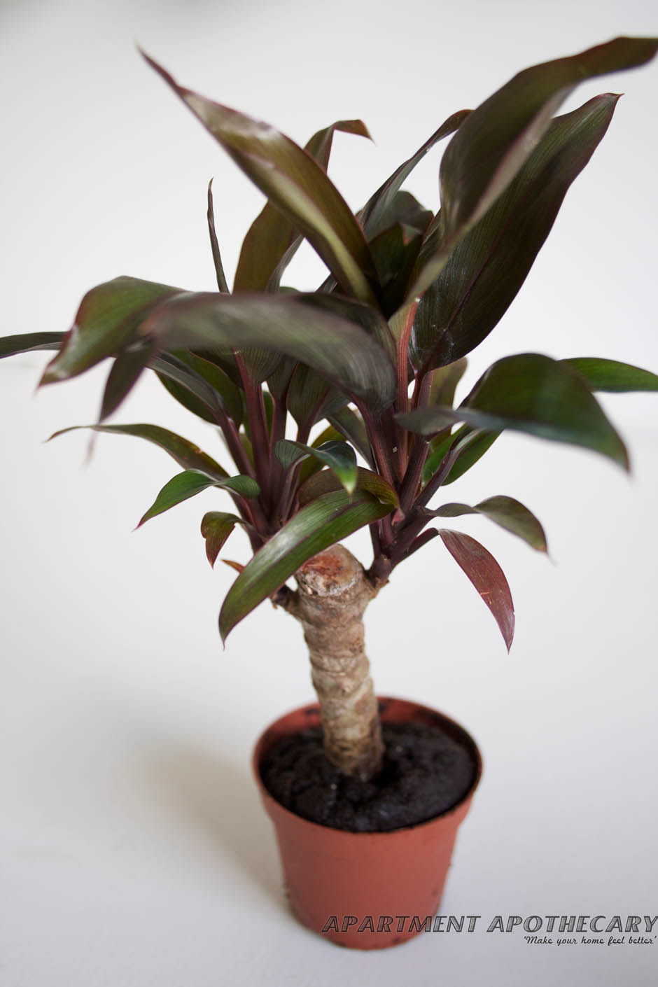 Tropical plant for terrarium Cordyline fruticosa (Palm Lily)