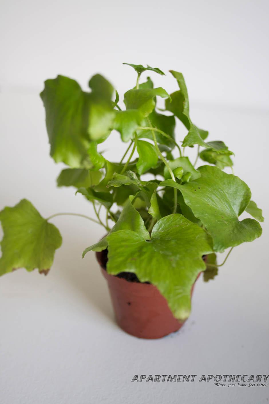 Tropical plant for terrarium Mutation of Hemionitis Arifolia