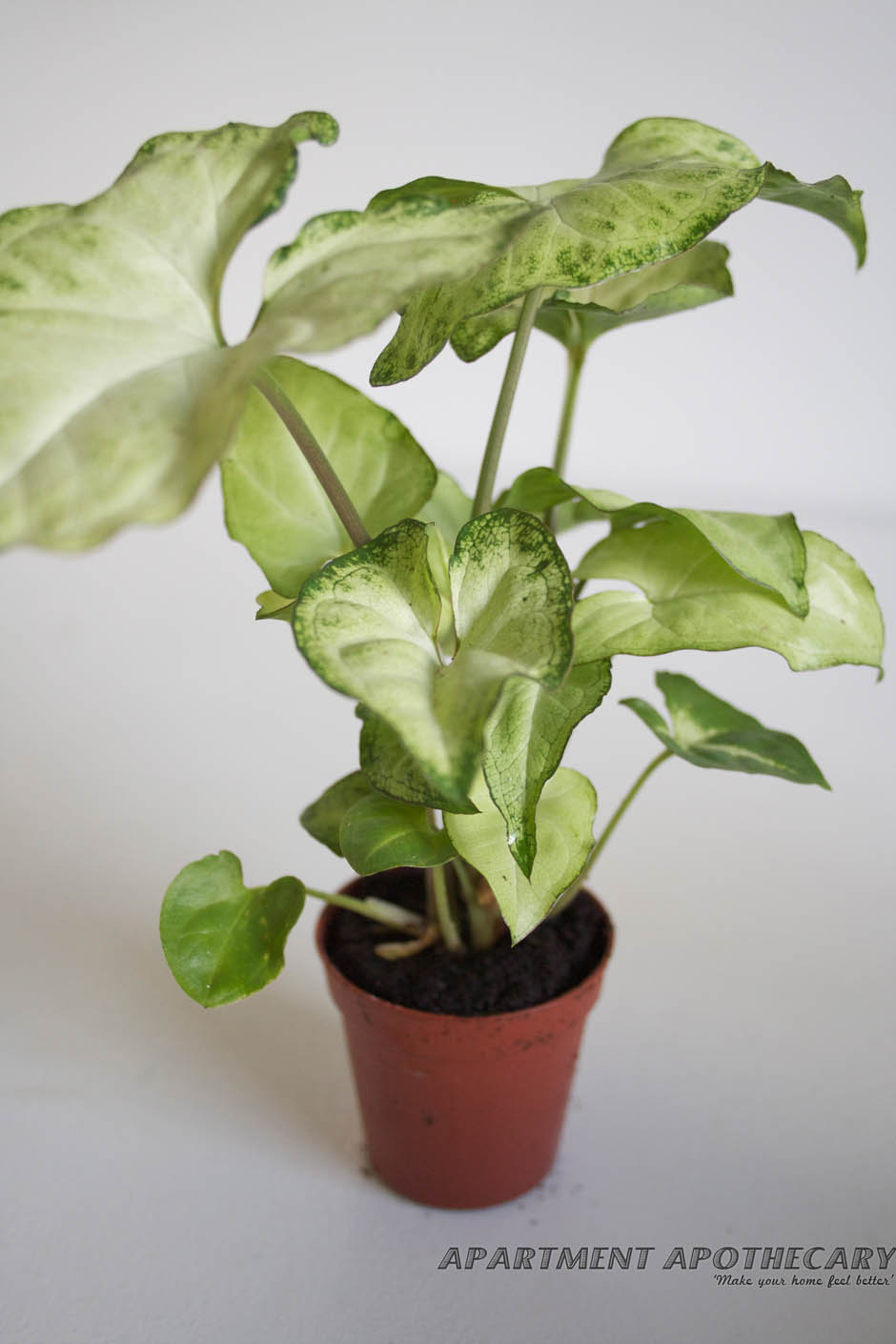 Tropical plant for terrarium Syngonium (Arrowhead Vine)