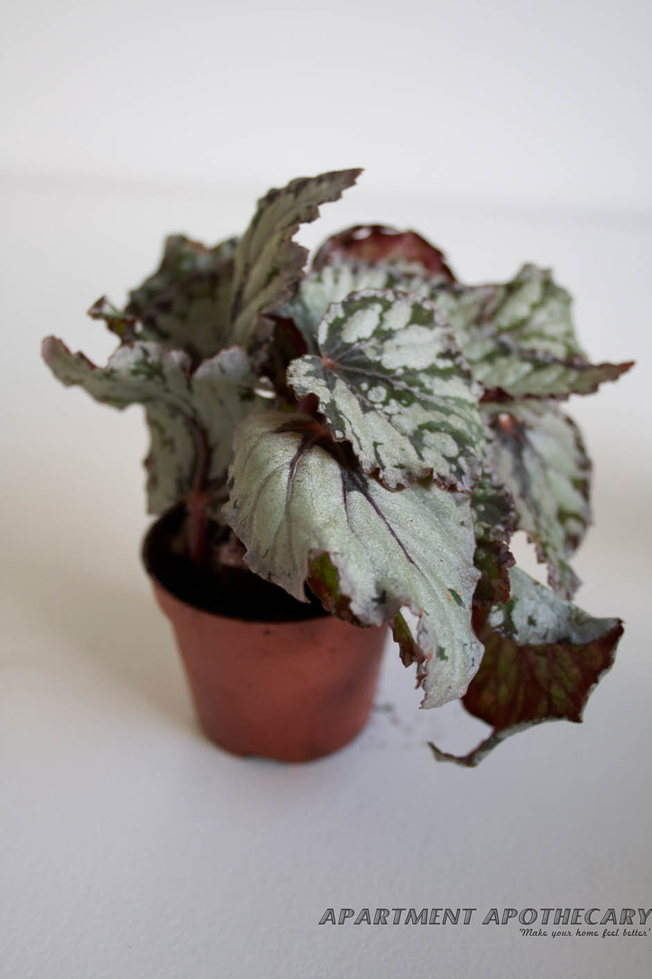 Tropical plant for terrarium Begonia rex (Painted Begonia)