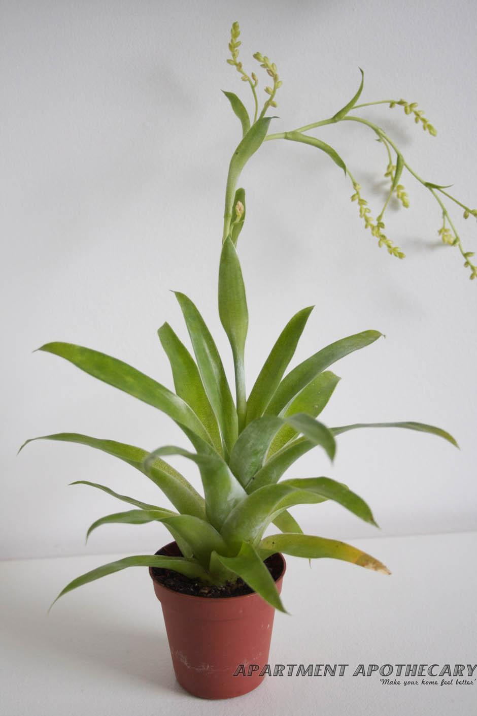 Tropical plant for terrarium Catopsis morreniana (Flowering Bromeliad)
